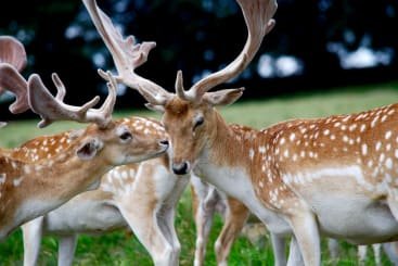 two deer at wollaton park in Nottingham